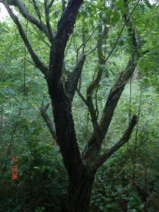 Třešně,hrušky,švestky v stoj. na uzení a grilování