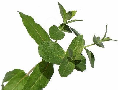 sazenice Blahovičník kulatoplodý – Eucalyptus globulus