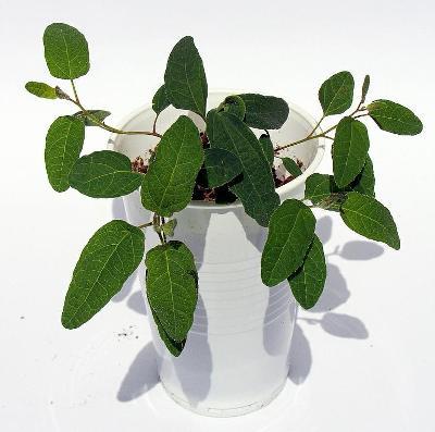 sazenice Blahovičník citróníkový – Eucalyptus citriodora
