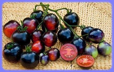 Rajče Indigo Rose 10 semen