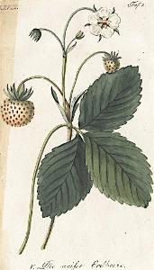 Jahoda bílá, Sickler, kolor. mědiryt, 1794