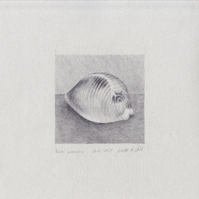 Obraz, kresba - mušle, Trivia monacha