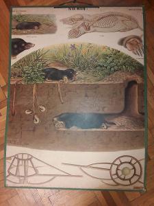 Školní plakát - Krtek obecný , Albert Kull 1920