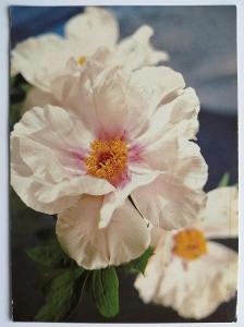 Retro pohlednice - Květy - 147x105mm