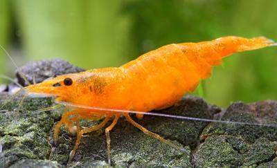 krevetka Neocaridina davidi Orange sakura