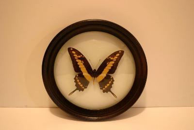 Preparovaný motýl ve skle a rámu 20 cm - profesionální provedení.