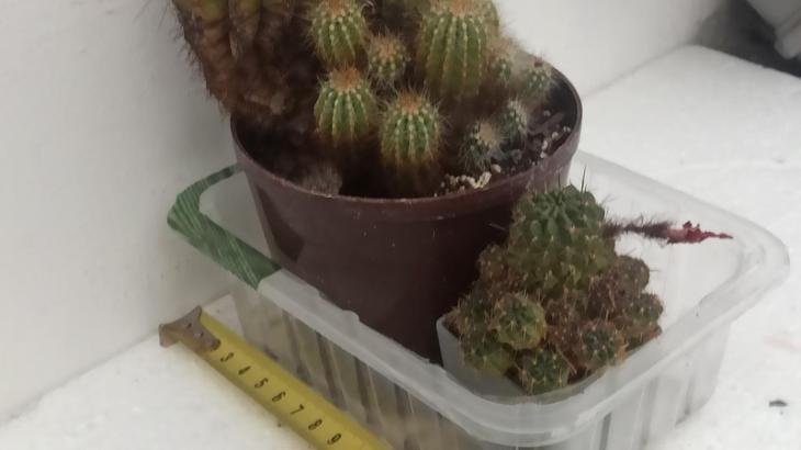 prodám kaktus - 2 ks Eriocephala magnifica Eriocactus magn., Lobivia  - Zahrada