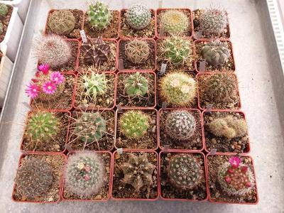Kaktusy- sada 25 ks různé