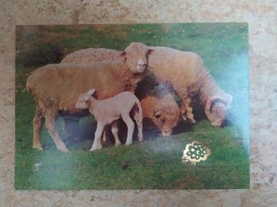 Pohlednice ovce ovečky beran beránek jehně jehňátko Velikonoce