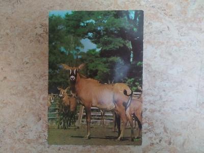 Pohlednice antilopa koňská Východočeská ZOO Dvůr Králové nad Labem