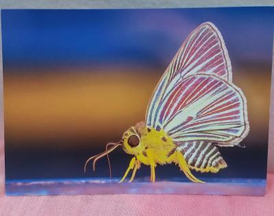Pohlednice - Motýlek (vlastní výroba) - čistá VF