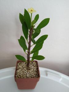 Euphorbia Milii mini žlutý květ (sukulent)