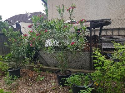 OLEANDR o výšce cca 190 cm - květy jednoduché tmavorůžové vonící