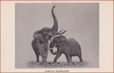 Přírodovědné muzeum * slon, divoká zvířata, Chicago, USA * X154