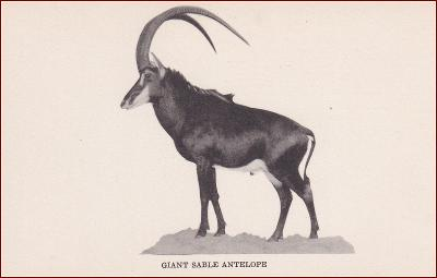 Přírodovědné muzeum * antilopa, divoká zvířata, Chicago, USA * X155