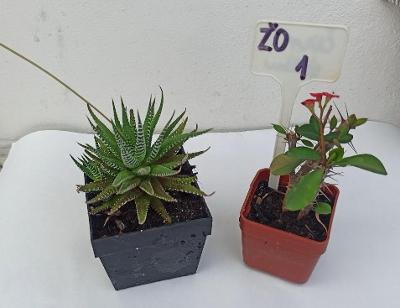 Prodám rostliny - sukulenty / kaktus