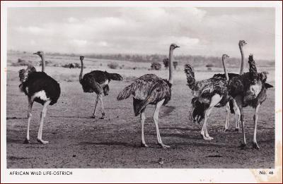 Pštros * ptáci, divoká zvířata, krajina, Afrika * X397