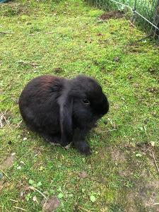 Nabízíme k prodeji zakrslé králíčky ze svobodného volného chovu ...