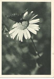 Ať žije Josef ! - kopretina motýl 2-1717++ čb