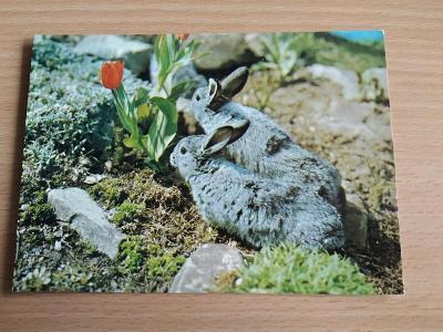Pohlednice králík zajíc Velikonce velikonoční tulipán