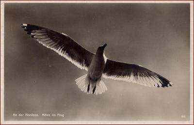 Racek * ptáci, zvířata, foto * X020