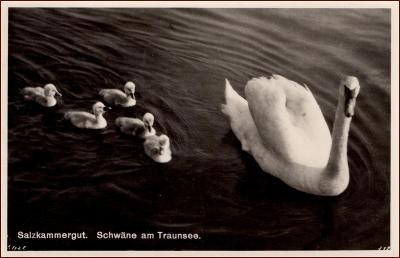 Labutě * ptáci, mládě, zvířata, jezero,Traunsee, Alpy, Rakousko * X160