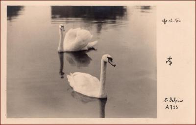 Labutě * ptáci, dvojice, zvířata, jezero, foto * X196
