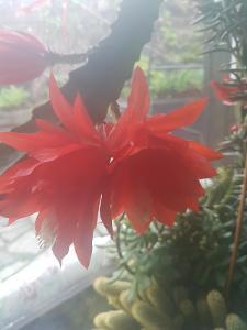 Ševcovský kaktus ,obrovský jasně červený plný květ, list k zakořenění
