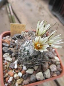 kaktusy turbinicarpus dickisoniae