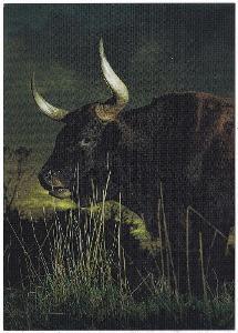 Německo - býk
