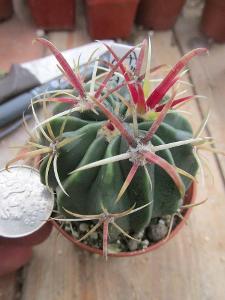 kaktusy  ferocactus latispinus
