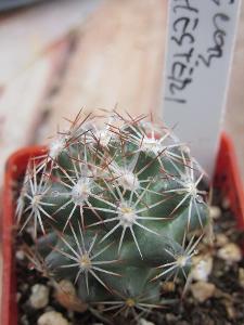 kaktusy escobaria