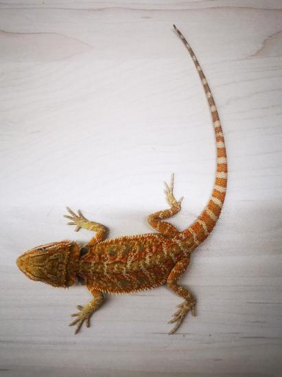 Agama vousatá  - Zvířata
