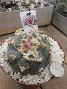 kaktusy lophophora