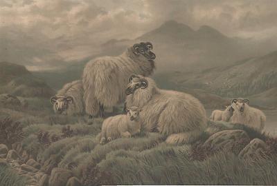 Ovce na pastvě, chromolitografie , (1880)