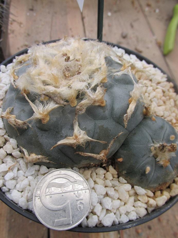kaktusy lophophora williamsii - Zahrada