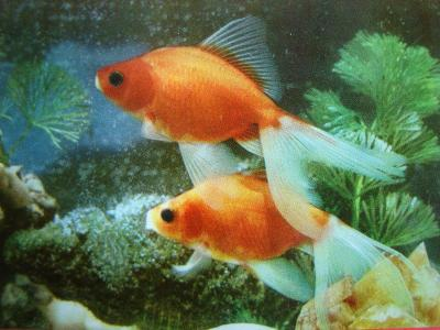 ZVÍŘATA RYBY Rybky VIETNAM