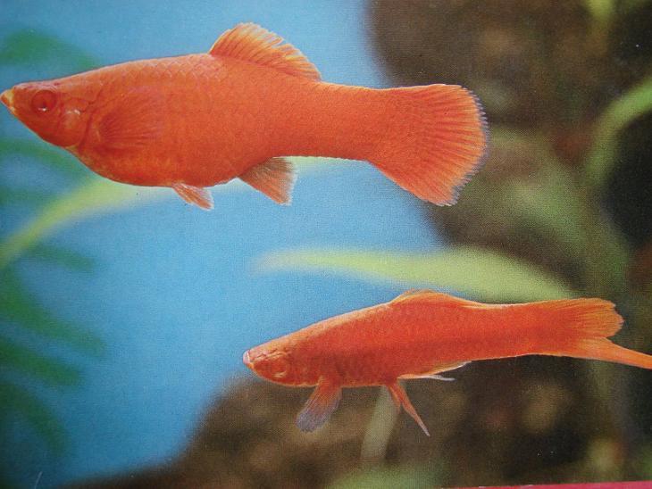 ZVÍŘATA RYBY Akvarijní rybky Živorodky Mečovka červená  - Pohlednice