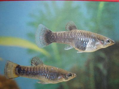 ZVÍŘATA RYBY Akvarijní rybky Živorodka tříbarvá