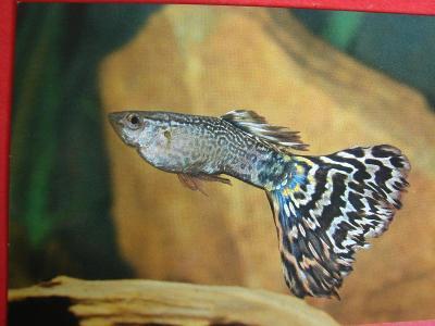 ZVÍŘATA RYBY Akvarijní rybky Živorodka duhová