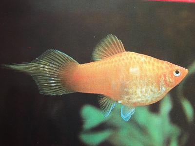 ZVÍŘATA RYBY Akvarijní rybky Živorodky Platá skvrnitá