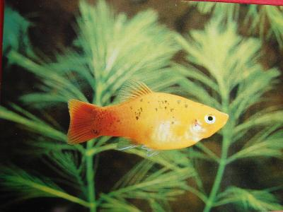 ZVÍŘATA RYBY Akvarijní rybky Živorodky Platá skvrnitá samička