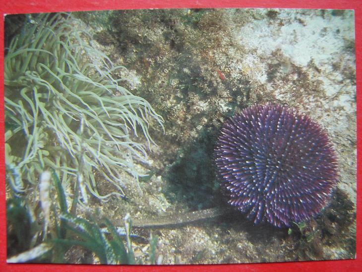 ZVÍŘATA Mořský svět Mořské sasanky Mořský ježek Cizina - Pohlednice