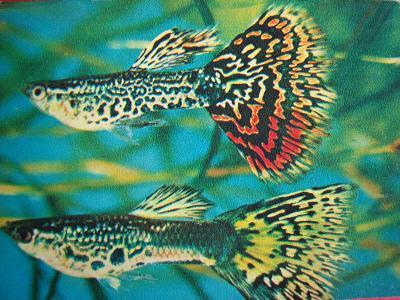 ZVÍŘATA RYBY Rybky Živorodka duhová RUSKO 1980