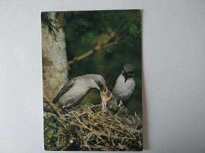 Pohlednice Pěnice Pokřovní Pták Ptáci Ptáček