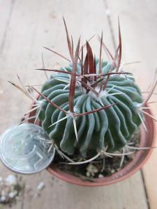 kaktusy echinofosulocactus sp