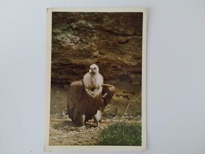 Pohlednice Pták Ptáci Sup bělohlavý