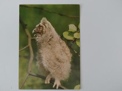 Pohlednice Pták Ptáci Sova Kalous ušatý mládě