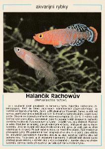 Akvarijní rybky - Halančík Rachowův (retro)