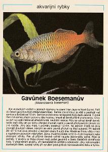 Akvarijní rybky - Gavůnek Boesemanův (retro)